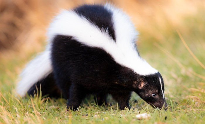 How to get rid of Skunk odors | Disaster Blaster
